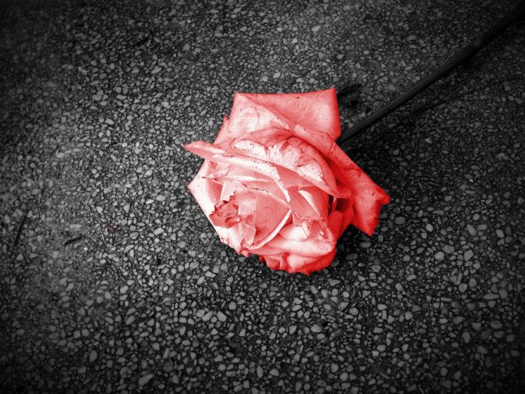 Nahaufnahme der Blüte einer roten Rose, auf der Straße liegend