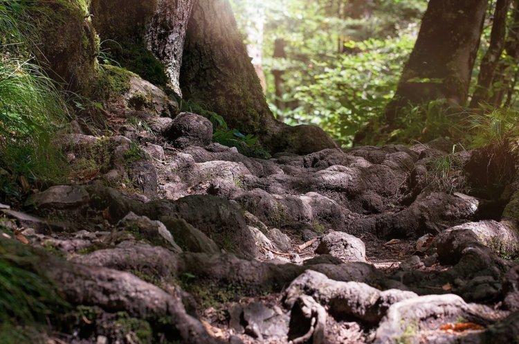 """Symbolbild """"Wald""""(für Predigt """"Gideon – wenn Gott zu uns kommt""""): Nahaufnahme Baumwurzeln"""