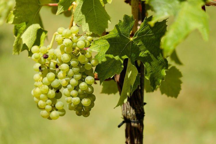 """Symbolbild """"Weinstock und Reben"""": Nahaufnahme von Trauben an einer Reben, an einem Weinstock."""
