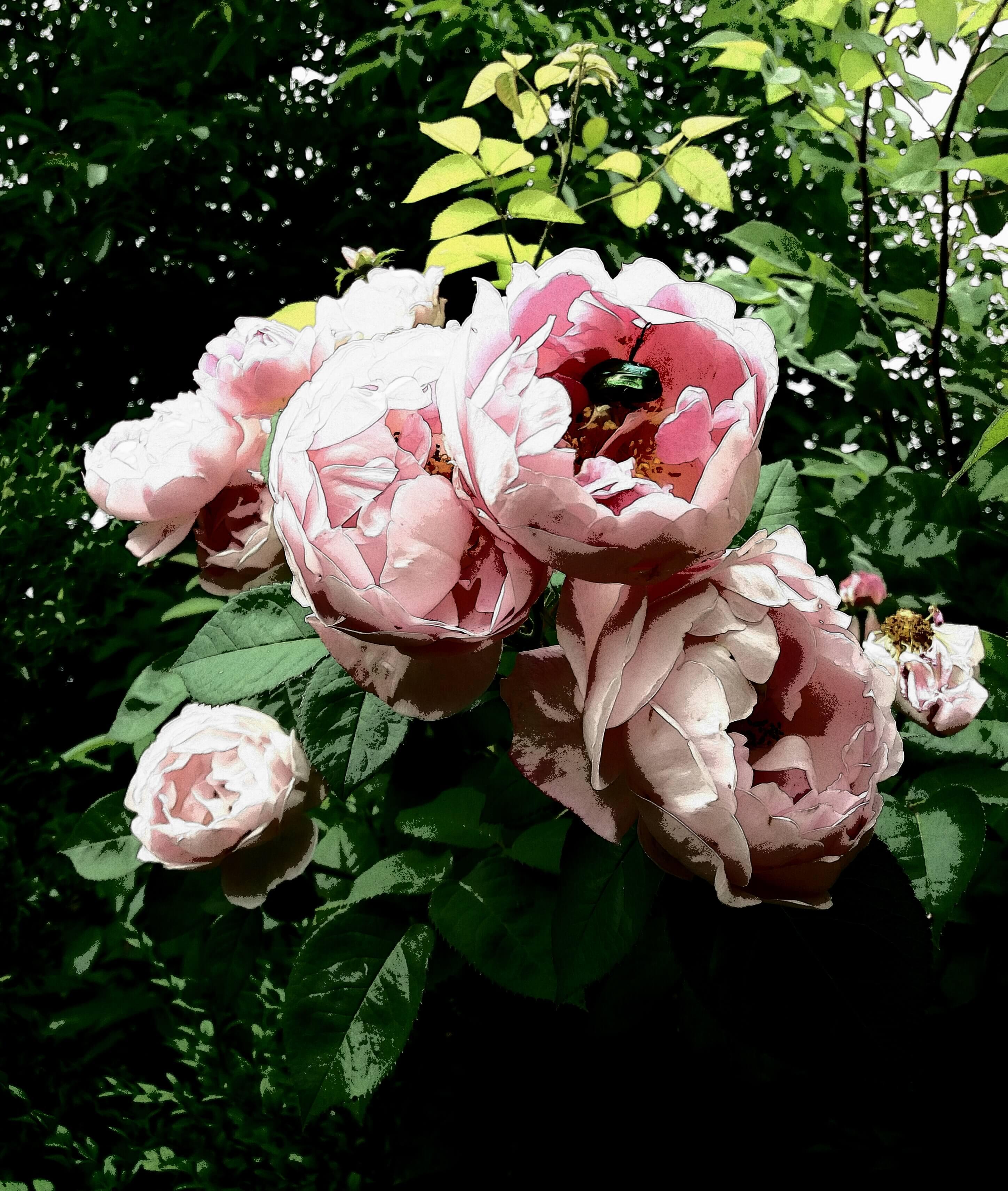 Rosen. Aufnahme von Julia Menz