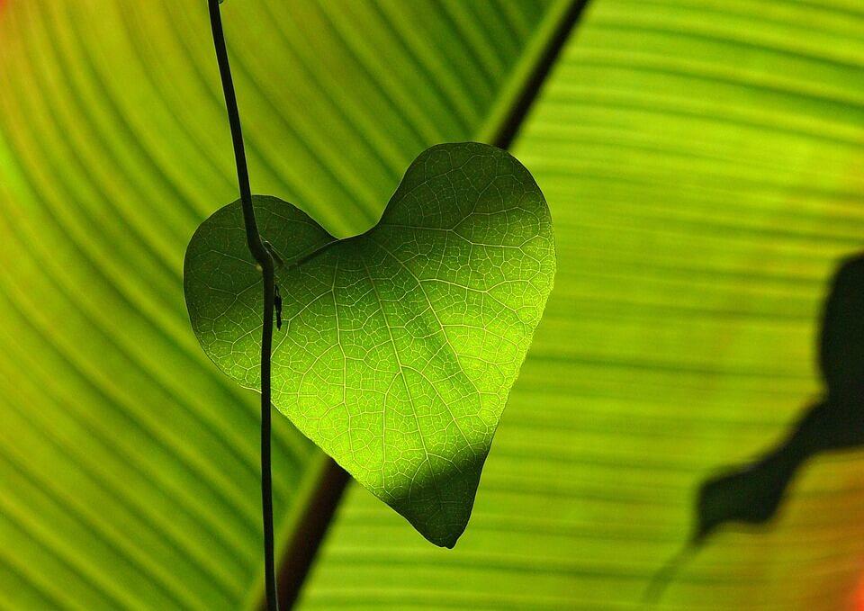 Grünes Blatt in Herzform: Sinnbild für die Jahreslosung 2017: Gott spricht: Ich schenke euch ein neues Herz und lege einen neuen Geist in euch. Hesekiel 36,26