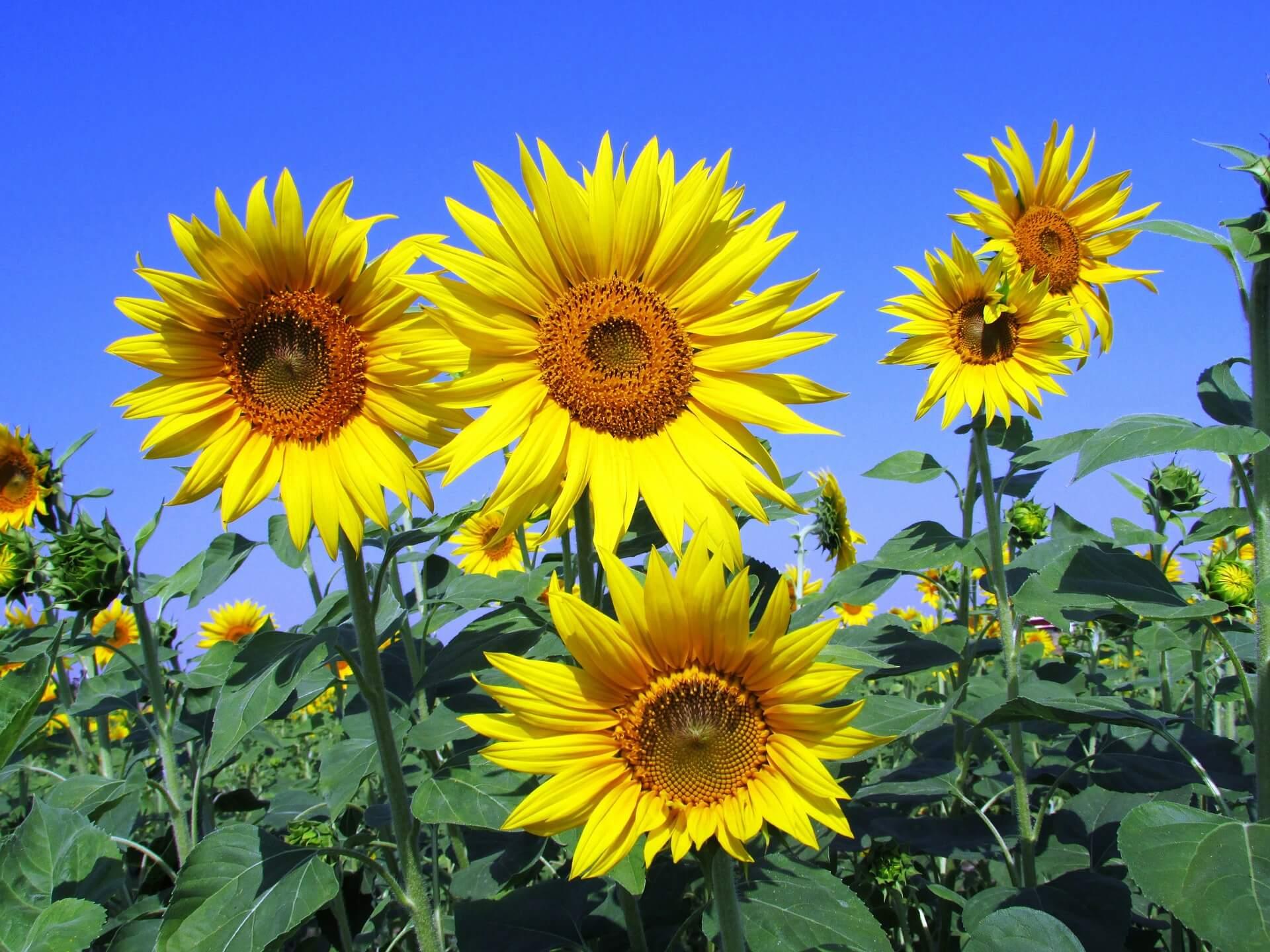 Symbolbild Wachstum. Sonnenblumen in Nahaufnahme